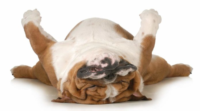dog-snoring-from-sleeping-facing-up